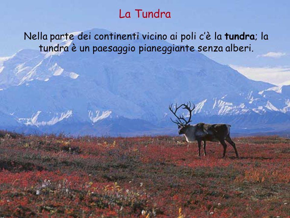 La Tundra Nella parte dei continenti vicino ai poli c'è la tundra; la tundra è un paesaggio pianeggiante senza alberi.