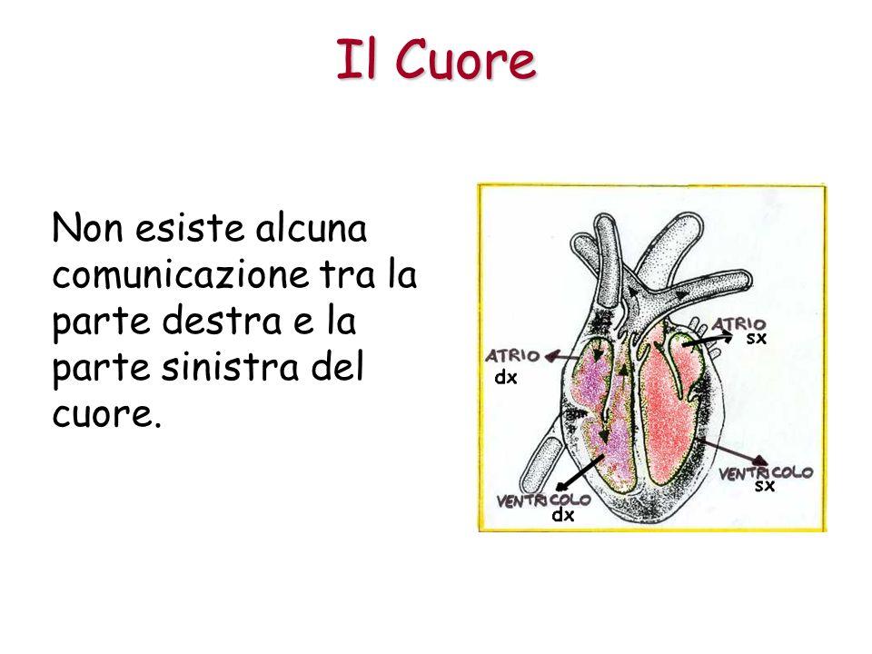 Il Cuore Non esiste alcuna comunicazione tra la parte destra e la parte sinistra del cuore.