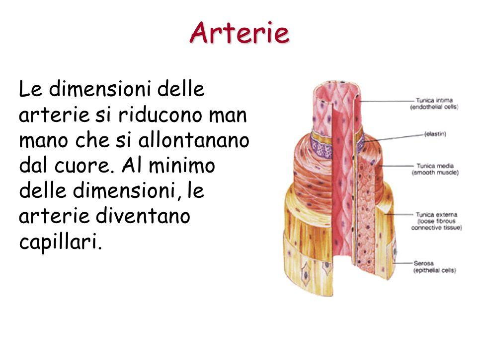 Arterie Le dimensioni delle arterie si riducono man mano che si allontanano dal cuore.