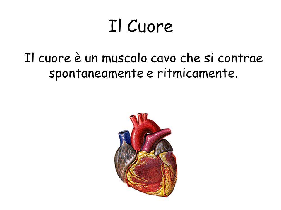 Il Cuore Il cuore è un muscolo cavo che si contrae spontaneamente e ritmicamente.