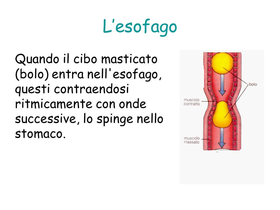 L'esofago Quando il cibo masticato (bolo) entra nell esofago, questi contraendosi ritmicamente con onde successive, lo spinge nello stomaco.