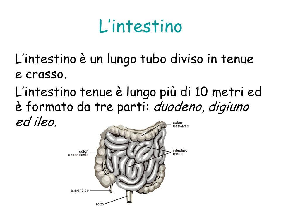 L'intestino L'intestino è un lungo tubo diviso in tenue e crasso.