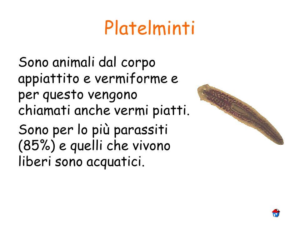 Platelminti Sono animali dal corpo appiattito e vermiforme e per questo vengono chiamati anche vermi piatti.