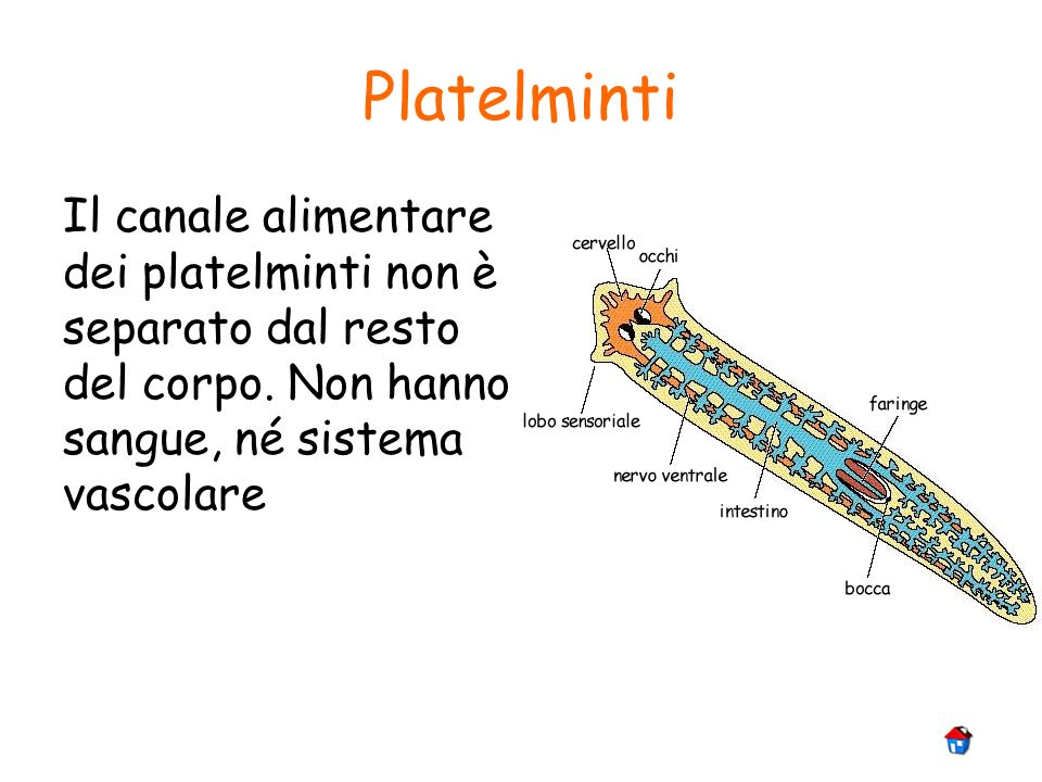 Platelminti Il canale alimentare dei platelminti non è separato dal resto del corpo.