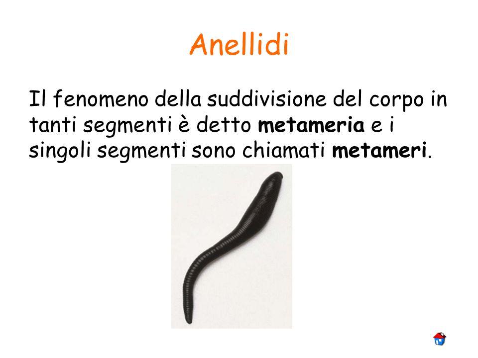 Anellidi Il fenomeno della suddivisione del corpo in tanti segmenti è detto metameria e i singoli segmenti sono chiamati metameri.