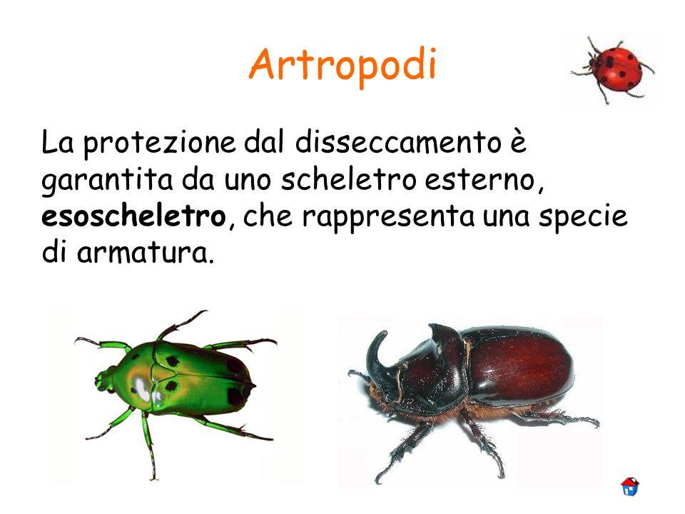 Artropodi La protezione dal disseccamento è garantita da uno scheletro esterno, esoscheletro, che rappresenta una specie di armatura.