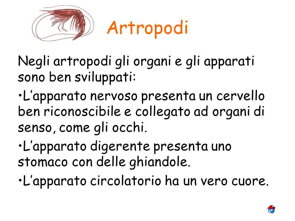 Artropodi Negli artropodi gli organi e gli apparati sono ben sviluppati:
