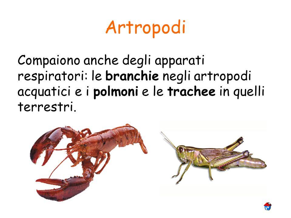 Artropodi Compaiono anche degli apparati respiratori: le branchie negli artropodi acquatici e i polmoni e le trachee in quelli terrestri.
