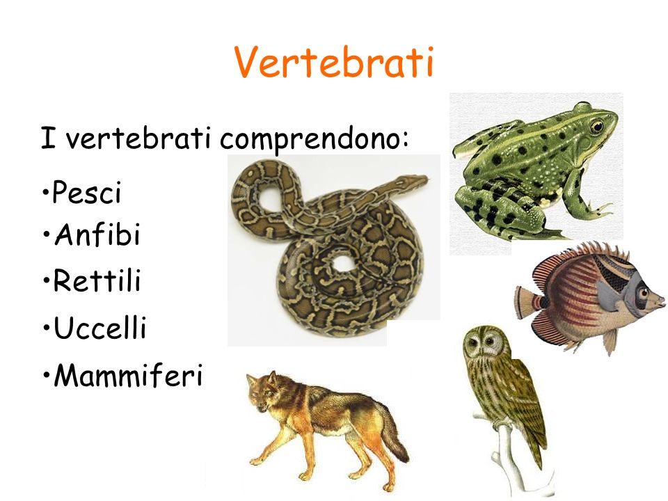 Vertebrati I vertebrati comprendono: Pesci Anfibi Rettili Uccelli