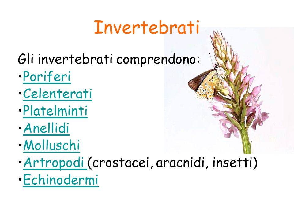 Invertebrati Gli invertebrati comprendono: Poriferi Celenterati