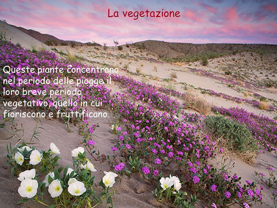 La vegetazione Queste piante concentrano nel periodo delle piogge il loro breve periodo vegetativo, quello in cui fioriscono e fruttificano.