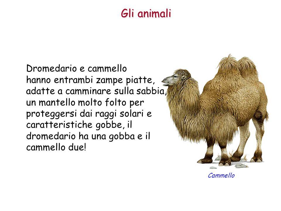 Gli animali Dromedario e cammello