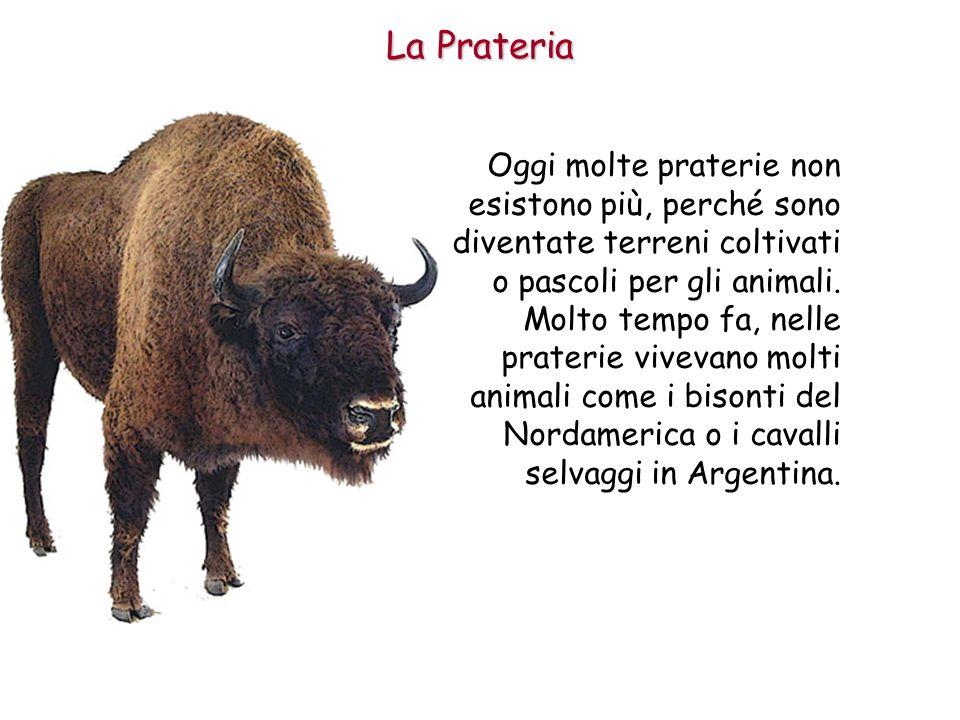 La Prateria Oggi molte praterie non esistono più, perché sono diventate terreni coltivati o pascoli per gli animali.
