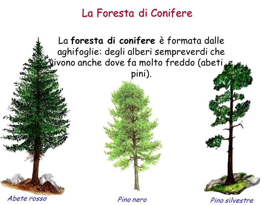 La Foresta di Conifere
