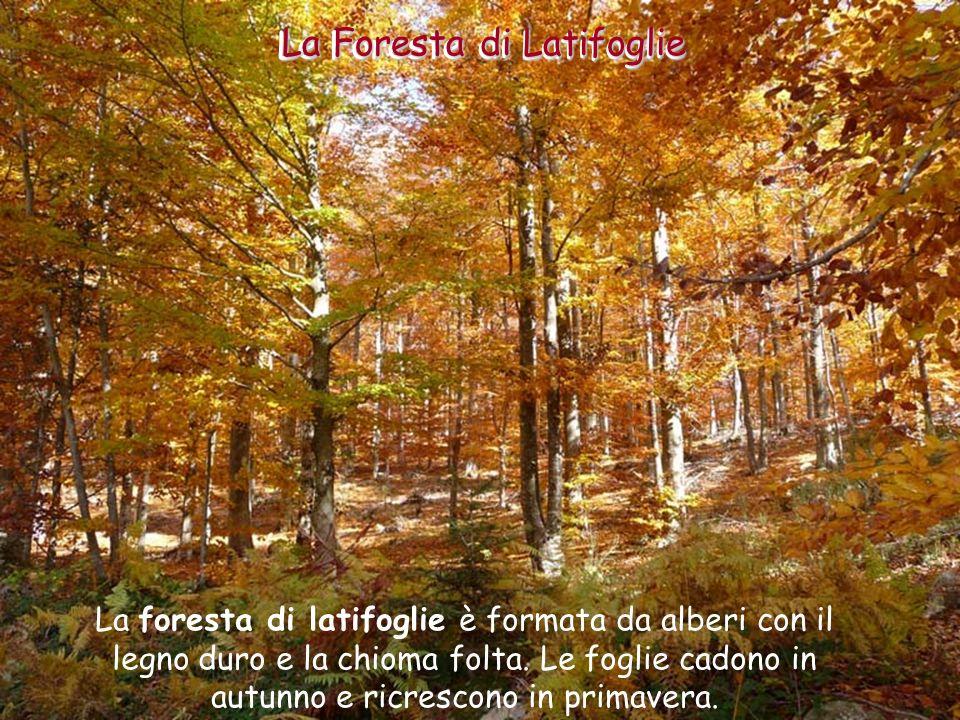 Le Foreste di Latifoglie La Foresta di Latifoglie