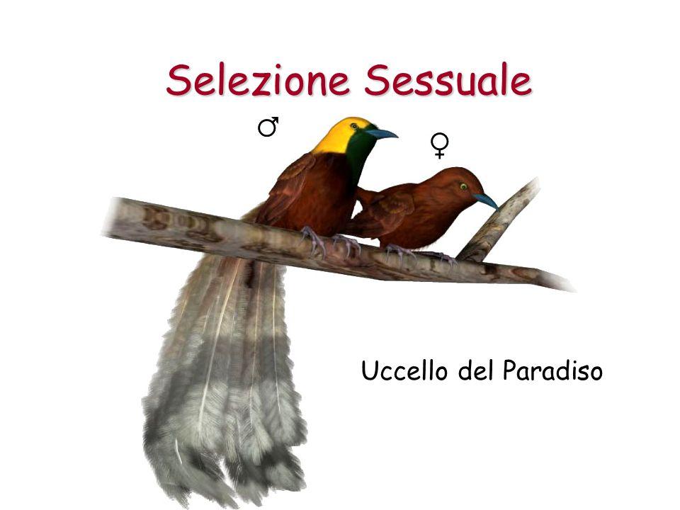 Selezione Sessuale Uccello del Paradiso