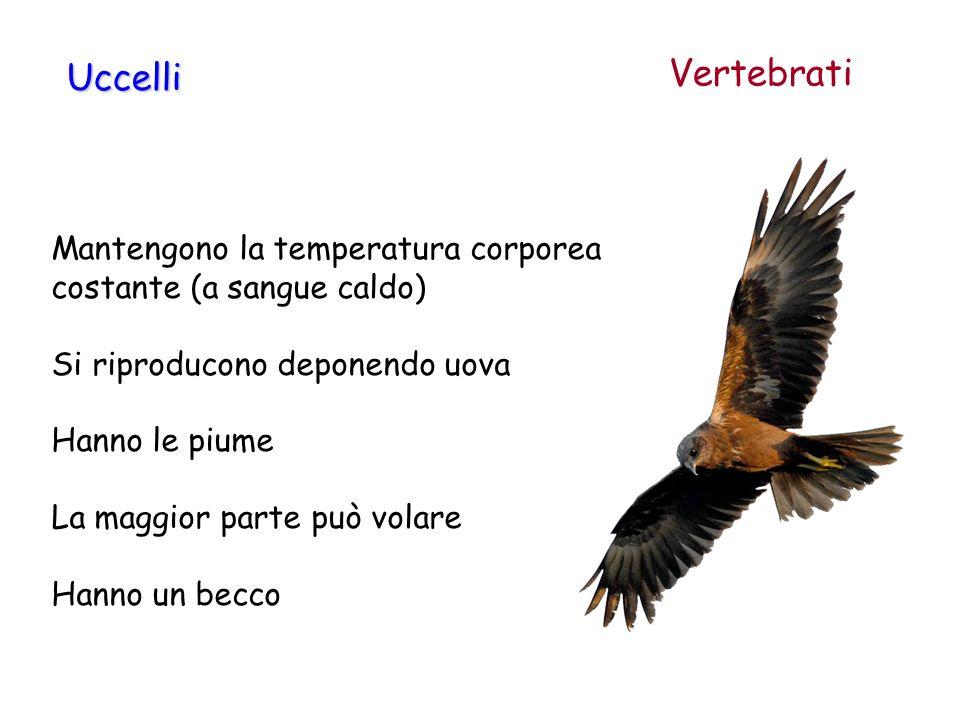 Vertebrati Uccelli. Mantengono la temperatura corporea costante (a sangue caldo) Si riproducono deponendo uova.