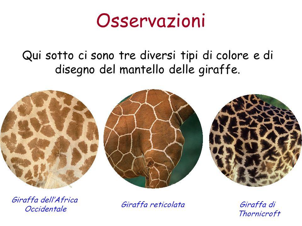 Osservazioni Qui sotto ci sono tre diversi tipi di colore e di disegno del mantello delle giraffe. Giraffa dell'Africa Occidentale.