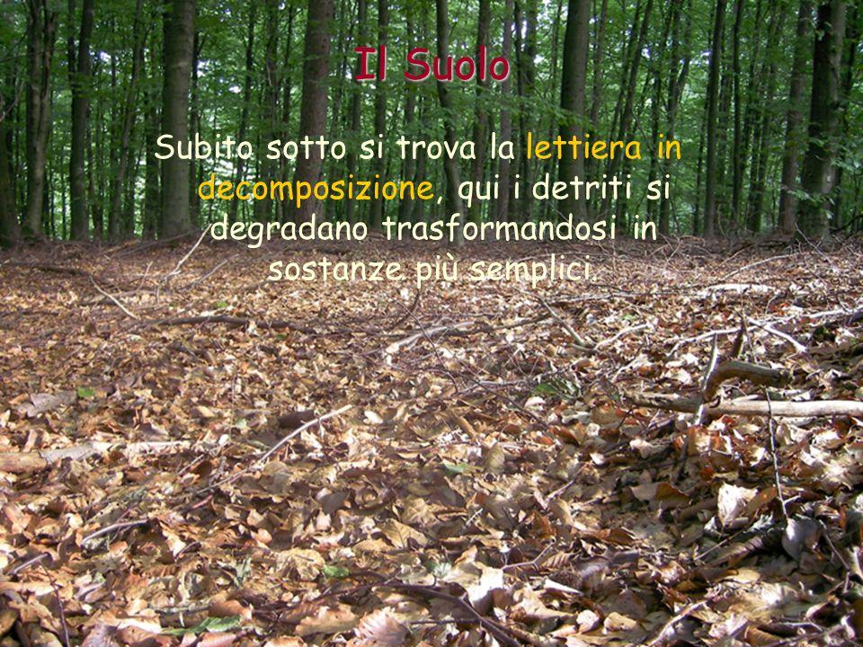 Il Suolo Subito sotto si trova la lettiera in decomposizione, qui i detriti si degradano trasformandosi in sostanze più semplici.