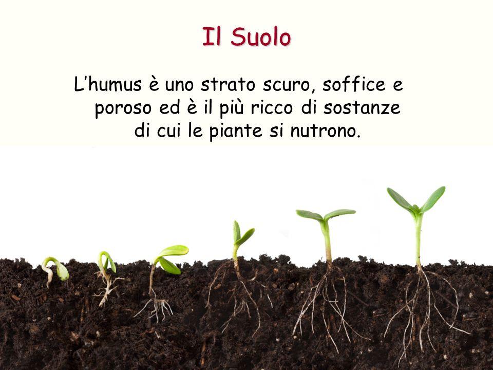 Il Suolo L'humus è uno strato scuro, soffice e poroso ed è il più ricco di sostanze di cui le piante si nutrono.