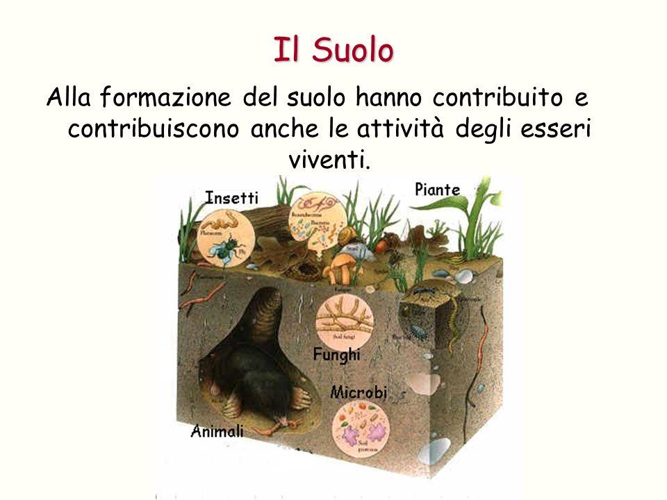 Il Suolo Alla formazione del suolo hanno contribuito e contribuiscono anche le attività degli esseri viventi.