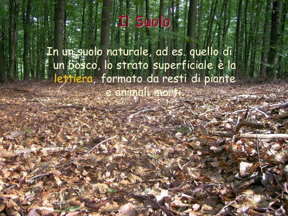 Il Suolo In un suolo naturale, ad es.