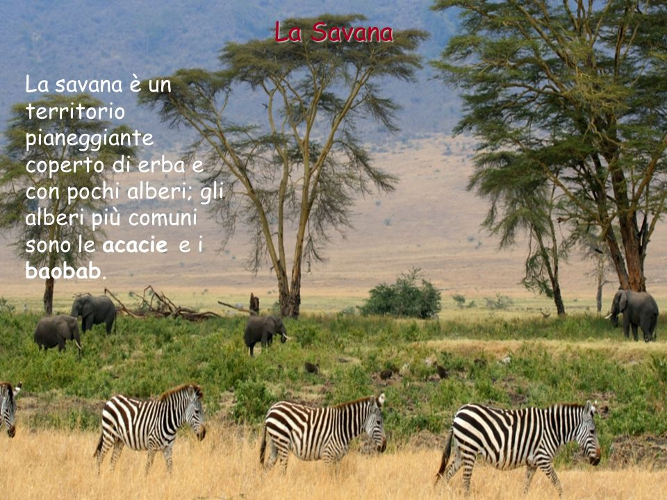 La Savana La savana è un territorio pianeggiante coperto di erba e con pochi alberi; gli alberi più comuni sono le acacie e i baobab.