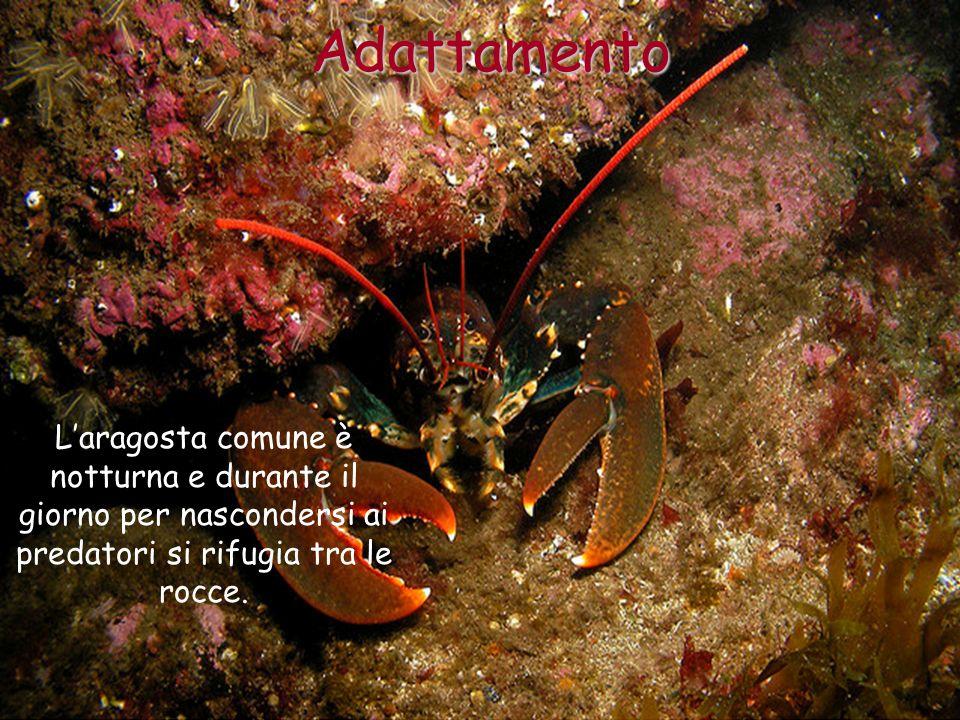 AdattamentoL'aragosta comune è notturna e durante il giorno per nascondersi ai predatori si rifugia tra le rocce.