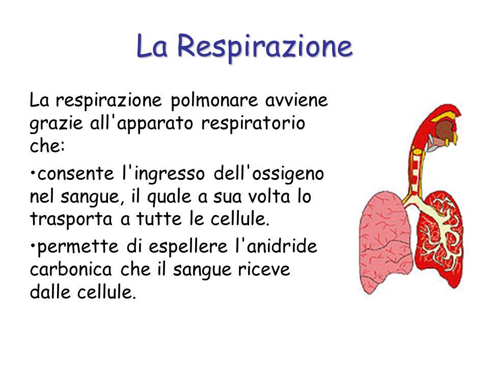 La RespirazioneLa respirazione polmonare avviene grazie all apparato respiratorio che: