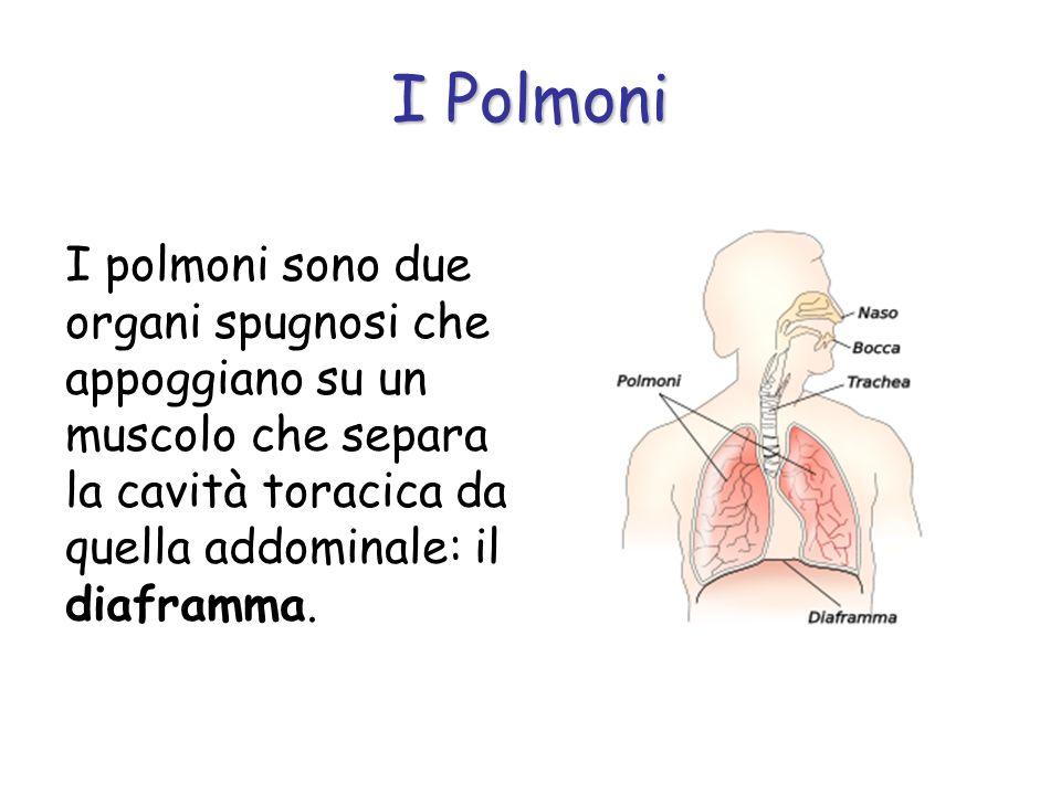 I PolmoniI polmoni sono due organi spugnosi che appoggiano su un muscolo che separa la cavità toracica da quella addominale: il diaframma.