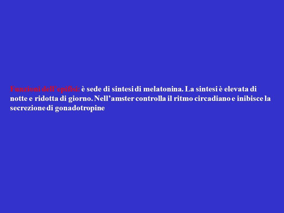 Funzioni dell'epifisi: è sede di sintesi di melatonina