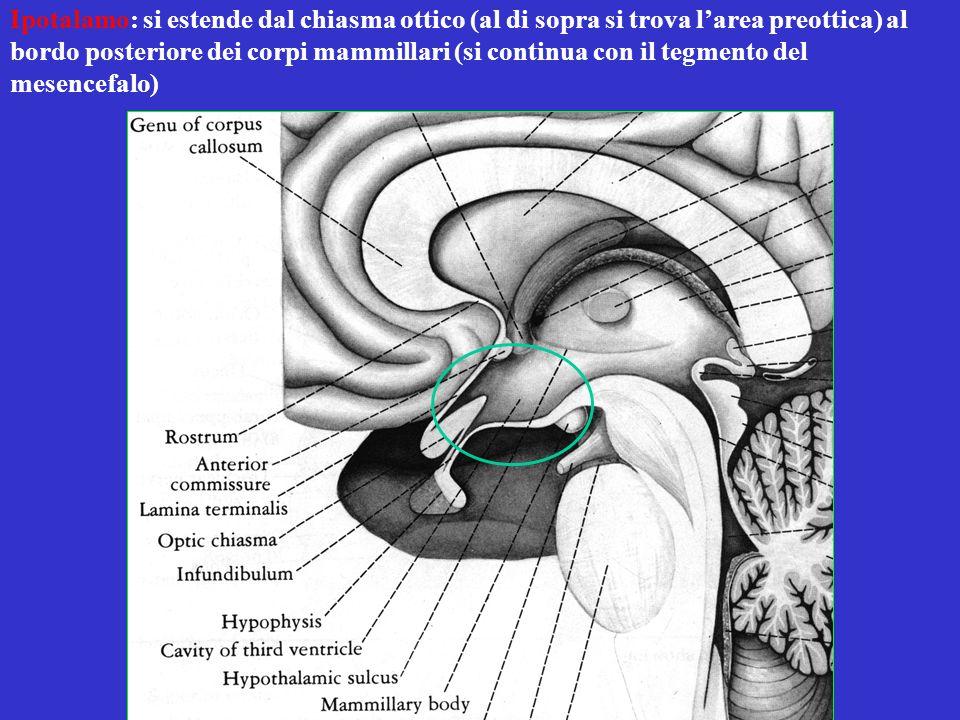 Ipotalamo: si estende dal chiasma ottico (al di sopra si trova l'area preottica) al bordo posteriore dei corpi mammillari (si continua con il tegmento del mesencefalo)