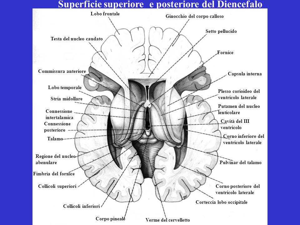Superficie superiore e posteriore del Diencefalo