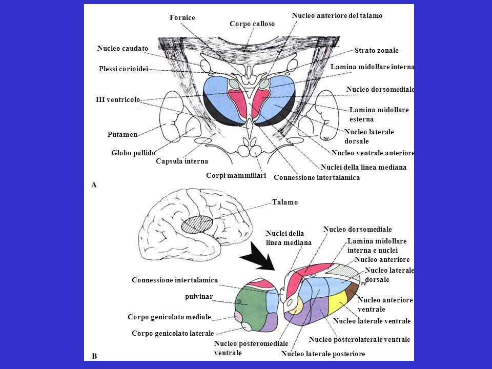 Fornice Nucleo anteriore del talamo. Corpo calloso. Nucleo caudato. Strato zonale. Plessi corioidei.
