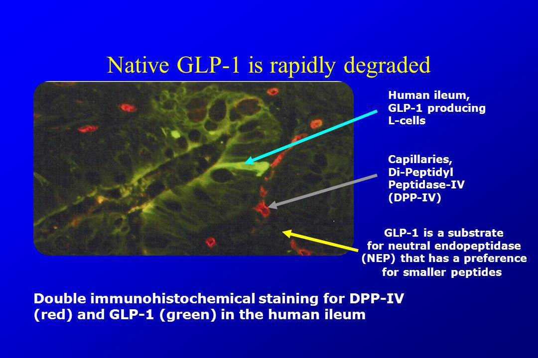 Native GLP-1 is rapidly degraded