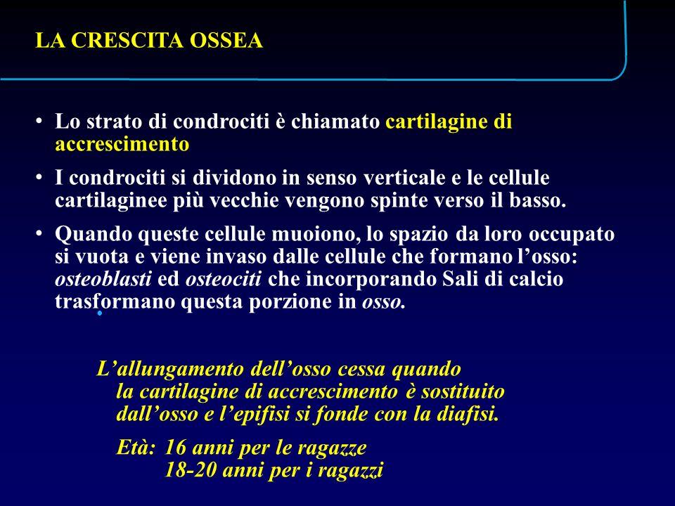 LA CRESCITA OSSEA Lo strato di condrociti è chiamato cartilagine di accrescimento.