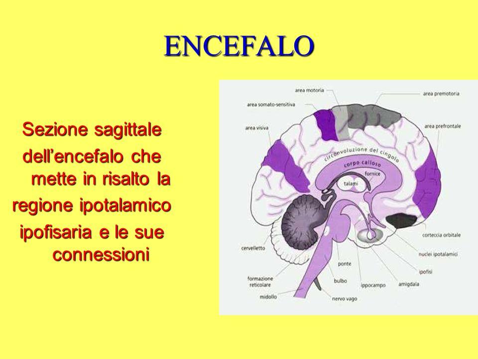 ENCEFALO Sezione sagittale dell'encefalo che mette in risalto la