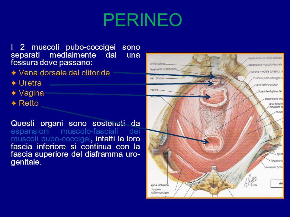 PERINEO I 2 muscoli pubo-coccigei sono separati medialmente dal una fessura dove passano: Vena dorsale del clitoride.