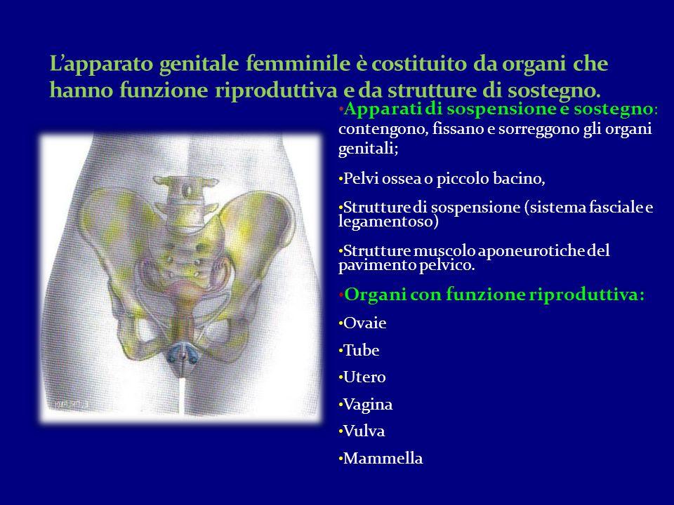 L'apparato genitale femminile è costituito da organi che hanno funzione riproduttiva e da strutture di sostegno.