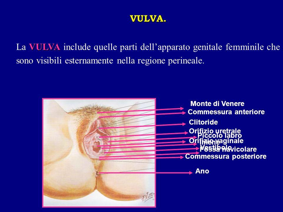 VULVA. La VULVA include quelle parti dell'apparato genitale femminile che sono visibili esternamente nella regione perineale.