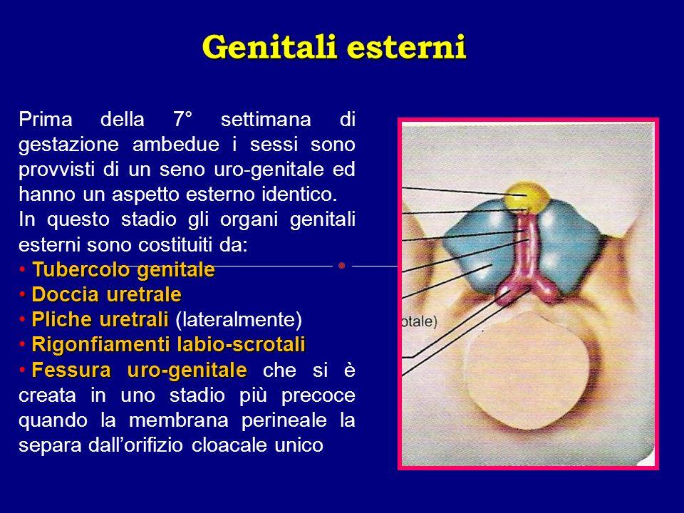 Genitali esterni Prima della 7° settimana di gestazione ambedue i sessi sono provvisti di un seno uro-genitale ed hanno un aspetto esterno identico.