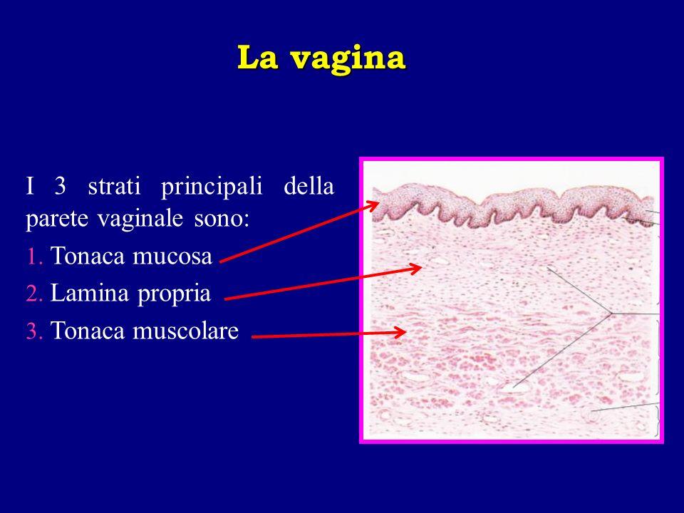 La vagina I 3 strati principali della parete vaginale sono: