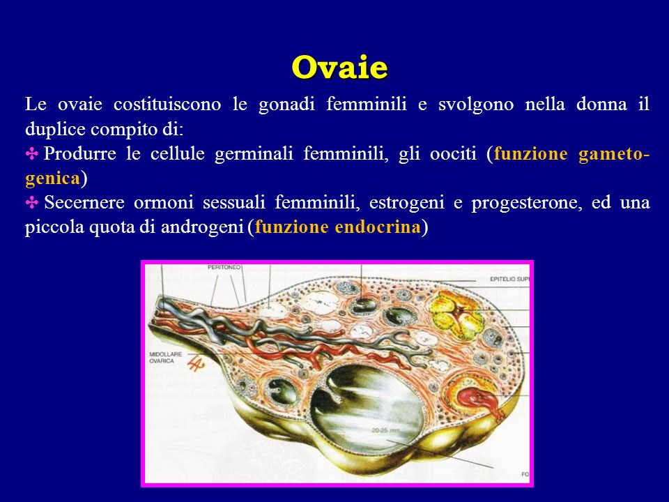 Ovaie Le ovaie costituiscono le gonadi femminili e svolgono nella donna il duplice compito di: