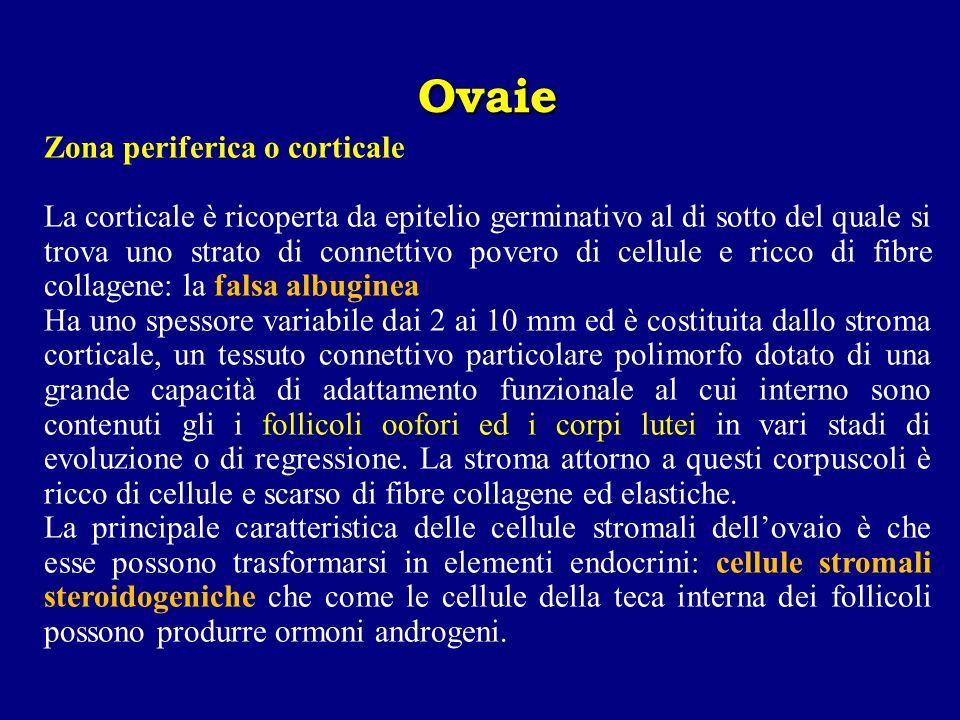 Zona periferica o corticale