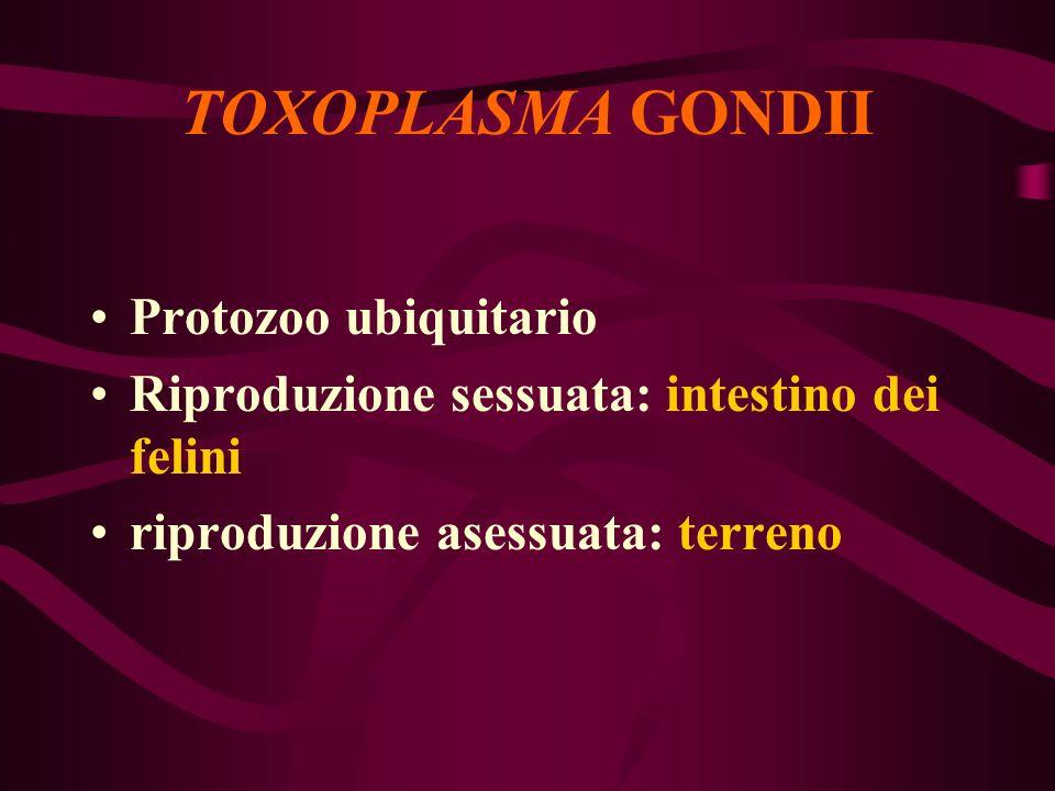 TOXOPLASMA GONDII Protozoo ubiquitario