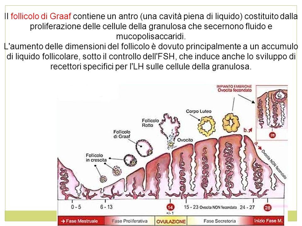 Il follicolo di Graaf contiene un antro (una cavità piena di liquido) costituito dalla proliferazione delle cellule della granulosa che secernono fluido e mucopolisaccaridi.