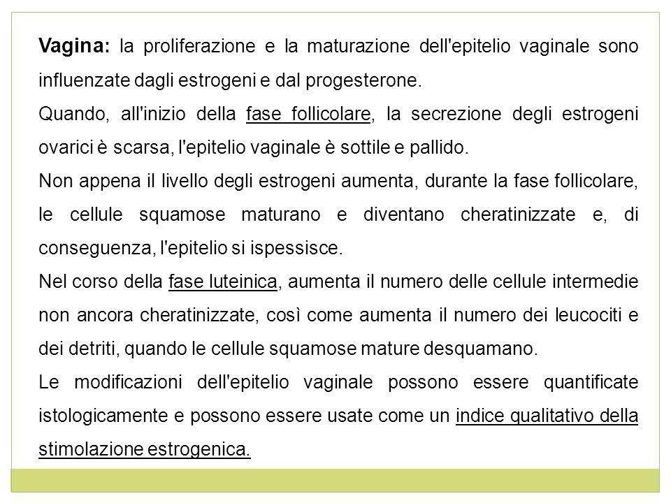 Vagina: la proliferazione e la maturazione dell epitelio vaginale sono influenzate dagli estrogeni e dal progesterone.