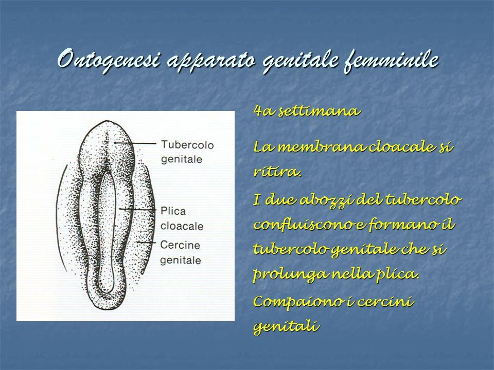 Ontogenesi apparato genitale femminile