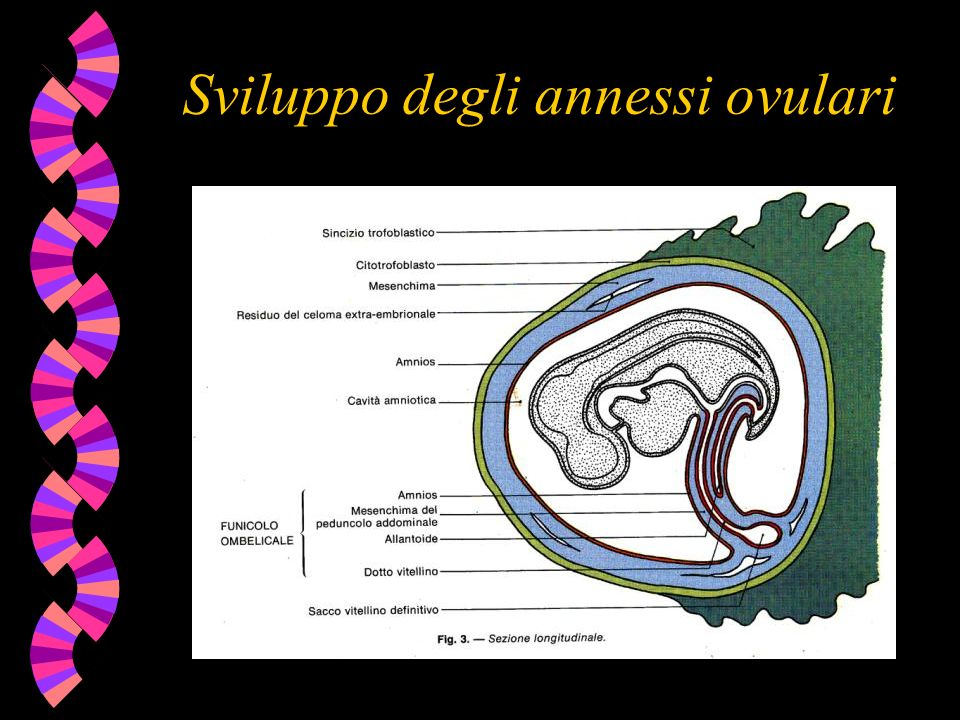 Sviluppo degli annessi ovulari
