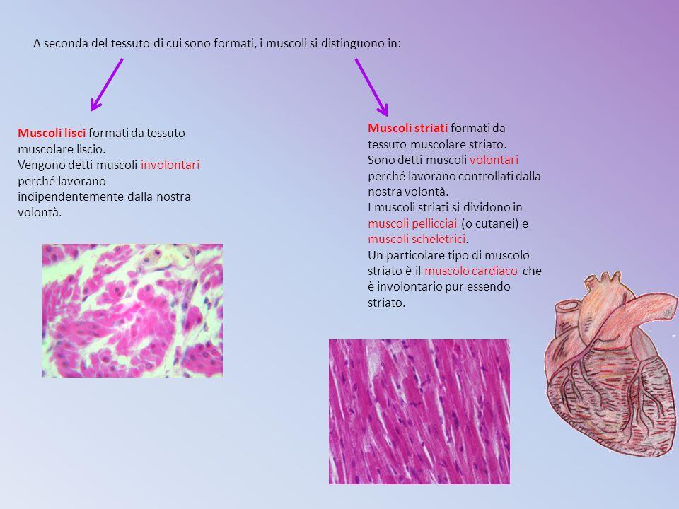 A seconda del tessuto di cui sono formati, i muscoli si distinguono in: